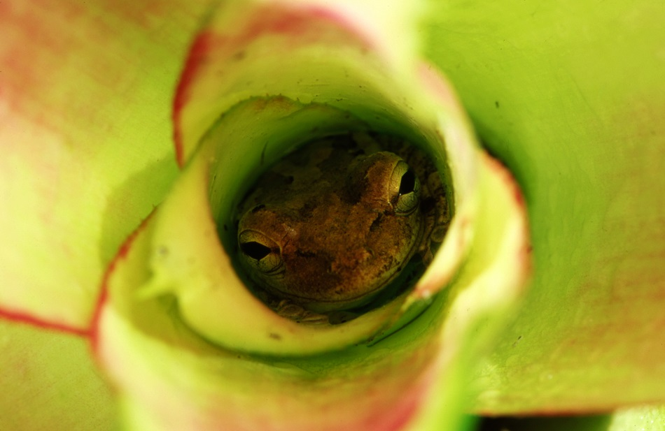 Mandatory Credit: Photo by Auscape/UIG/REX Shutterstock (3810926a) Cuban tree frog hiding in bromeliad in garden, The largest tree frog in North America, Florida, USA VARIOUS