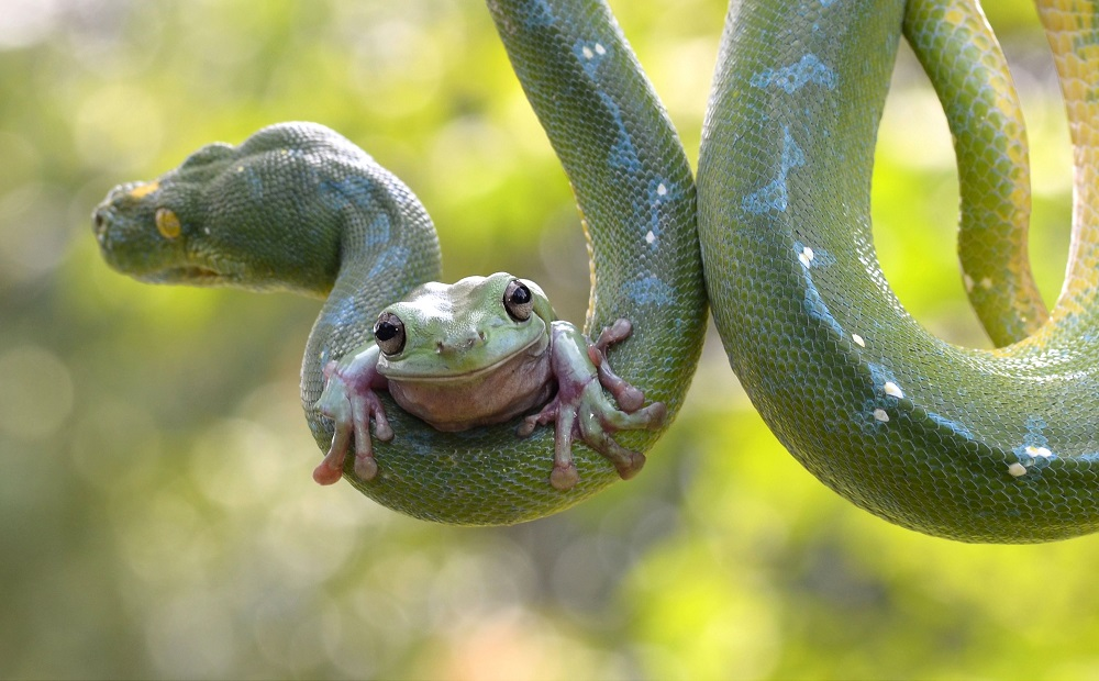 """Mandatory Credit: Photo by Fahmi Bhs/Solent News/REX Shutterstock (3875683g) Green tree frog clinging to a tree python Tree frog clings to a snake, Jakarta, Indonesia - May 2014 *Full story: http://www.rexfeatures.com/nanolink/p3rn Clinging on with sticky toes, a green tree frog sits bravely on its unlikely friend - a large tree python. Curled around the branches of a small coconut tree, the snake appears relatively undisturbed by the bold passenger that has clambered onto its skin. Grown in captivity together, the pair display no signs of aggression or fear, comfortable with their encounters high up in the leafy branches. Photo enthusiast Fahmi Bhs watched in surprise as the frog slowly climbed along the scales of the metre long snake at a zoo in Jakarta, Indonesia. The 39-year-old said: """"I was worried the python may swallow this beautiful frog. """"But then a keeper told me that this particular snake doesn't eat frogs at all and it did seem almost undisturbed by its presence. """"The python occasionally sniffed around the frog but then it just let the creature do whatever he needed to do."""""""