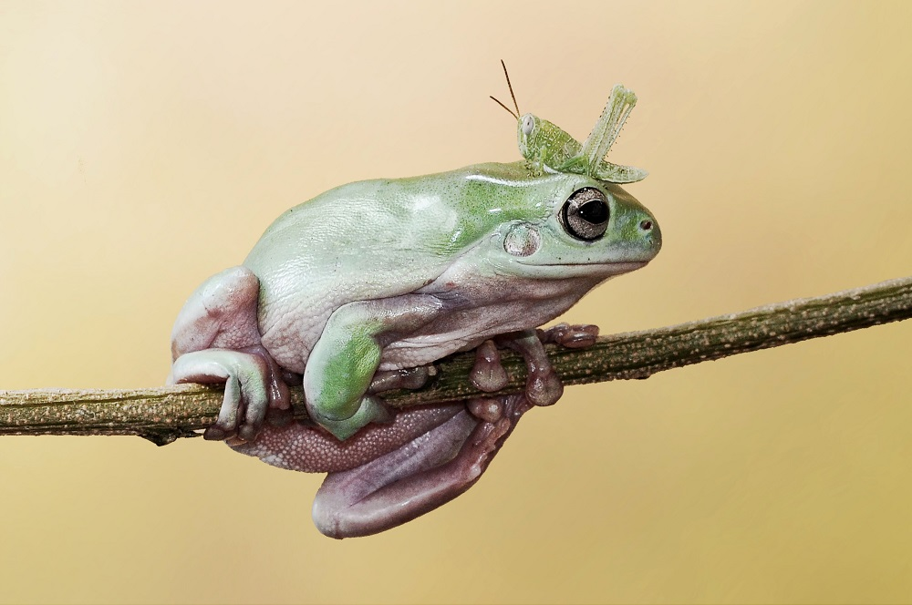 "Mandatory Credit: Photo by Andri Priyadi/Solent News/REX Shutterstock (4271985c) A grasshopper climbs over a frog on a branch Grasshopper climbs over frog's head and body, Tangerang, Indonesia - Oct 2014 *Full story: http://www.rexfeatures.com/nanolink/poxb A cheeky little grasshopper couldn't go round a frog because the branch they were on was too thin - so he surprised him by going over instead. The 7cm-long frog stared out the insect as it got up close and personal to him on the thin branch. But the 1.5cm grasshopper simply jumped onto his back and made his way across to the other side. The moment was captured on camera by 29-year-old Andri Priyadi near his backgarden in Tangerang, Indonesia. Andri likes to spend his spare time photographing his pet frog, which is a tree frog known as a 'dumpy frog'. He said: ""I like taking my frogs to play in the yard so I go there often. ""My favourite picture is the one of them looking at each other because I bet the frog didn't expect the grasshopper to climb over him""."