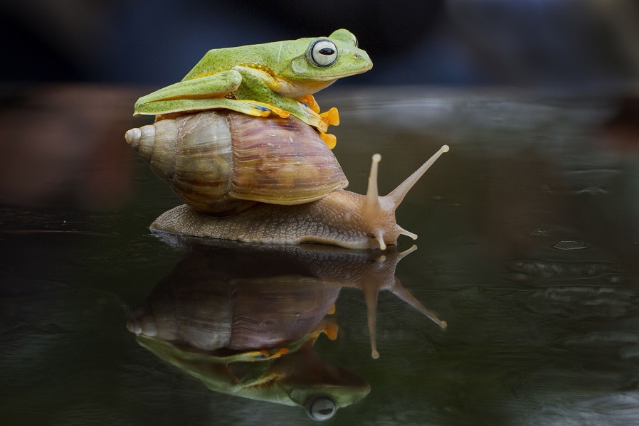 Mandatory Credit: Photo by Hendy Mp/Solent News/REX Shutterstock (4333707f) The frog clims on top of the snail Frog Takes a Ride on a Snail, Sambas, Indonesia - 26 Dec 2014 A tiny frog and snail make an unlikely pair of friends as they playfully fool around together. The bright green frog looks like it's giving the snail a quick kiss before it starts climbing onto its shell. But the little snail doesn't seem to mind as its new friend explores his shell for 10 minutes - and even sits on top for a while. The unusual antics were caught on camera by photographer Hendy Mp in the woods near his home in Sambas, Indonesia.