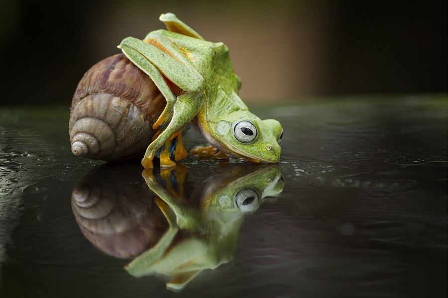 Mandatory Credit: Photo by Hendy Mp/Solent News/REX Shutterstock (4333707h) The frog clims on top of the snail Frog Takes a Ride on a Snail, Sambas, Indonesia - 26 Dec 2014 A tiny frog and snail make an unlikely pair of friends as they playfully fool around together. The bright green frog looks like it's giving the snail a quick kiss before it starts climbing onto its shell. But the little snail doesn't seem to mind as its new friend explores his shell for 10 minutes - and even sits on top for a while. The unusual antics were caught on camera by photographer Hendy Mp in the woods near his home in Sambas, Indonesia.