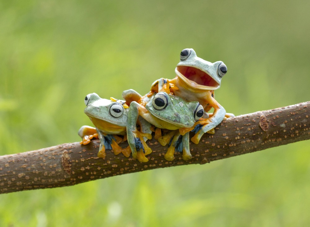 "Mandatory Credit: Photo by Hendy MP/Solent News/REX Shutterstock (4404770a) The Reinwardt's Flying Frogs on the branch Frogs on a tree branch, Sambas, Indonesia - Jan 2015 *Full story: http://www.rexfeatures.com/nanolink/pvwg This green-skinned trio were happy to pose for the camera - with one little frog even smiling happily for its close up. The three Reinwardt's Flying Frog, commonly known as the black webbed tree frog or the green flying frog, were spotted playing in a tree by photographer Hendy Mp. The 25-year-old, who saw the frogs near his home in Sambas, Indonesia, said they reminded him of three brothers playing together. He said: ""They were playing and kept moving around every couple of minutes - climbing on each other and changing positions. ""They reminded me of three playful brothers and the one frog that looks like he is smiling I thought was very cute. ""I stayed there for about two hours taking pictures. ""They moved very quickly and elegantly - it reminded me of a dancer, they had the same sort of style in their movements."""