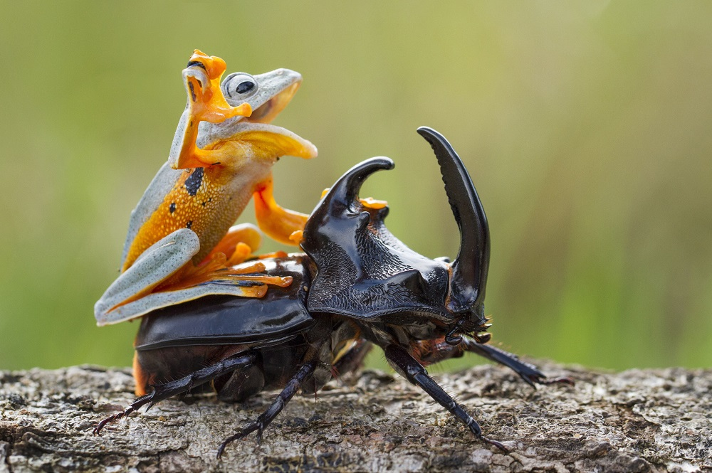"Mandatory Credit: Photo by Hendy MP/Solent News/REX Shutterstock (4436027a) The frog riding on top of the beetle Frog rides a beetle like a rodeo cowboy on a bull, Sambas, Indonesia - Jan 2015 Like a cowboy riding a bull, this frog appeared to have a wild ride after it hopped aboard a beetle. At one point the daring amphibian appeared to be having the time of its life as it clung on with one hand in the air. And it managed to stay in place for around five minutes before eventually crawling off. Photographer Hendy Mp captured the unique moment near his house in Sambas, Indonesia. The 25-year-old said: ""It was such an amazing moment, the frog just saw the beetle and decided to crawl on top. ""It looked like the frog was a cowboy riding a bull and it even put its right leg in the air. ""The frog was on the beetle for five minutes and the insect was just happily running around."""