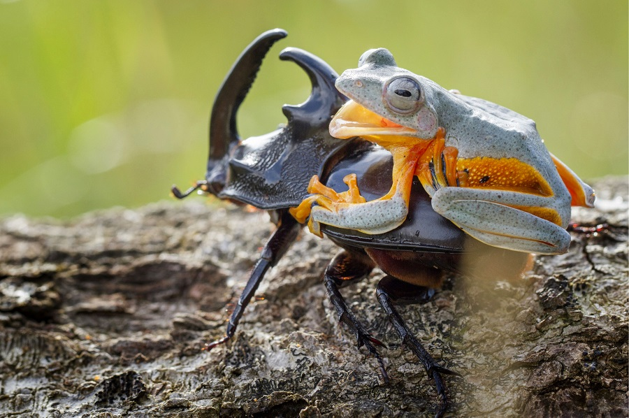 "Mandatory Credit: Photo by Hendy MP/Solent News/REX Shutterstock (4436027b) The frog riding on top of the beetle Frog rides a beetle like a rodeo cowboy on a bull, Sambas, Indonesia - Jan 2015 Like a cowboy riding a bull, this frog appeared to have a wild ride after it hopped aboard a beetle. At one point the daring amphibian appeared to be having the time of its life as it clung on with one hand in the air. And it managed to stay in place for around five minutes before eventually crawling off. Photographer Hendy Mp captured the unique moment near his house in Sambas, Indonesia. The 25-year-old said: ""It was such an amazing moment, the frog just saw the beetle and decided to crawl on top. ""It looked like the frog was a cowboy riding a bull and it even put its right leg in the air. ""The frog was on the beetle for five minutes and the insect was just happily running around."""
