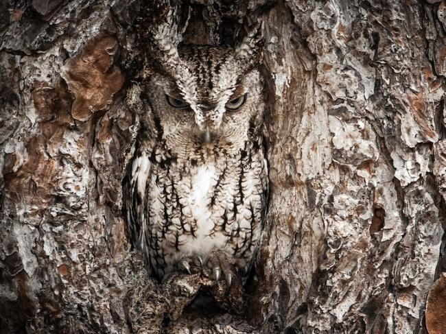 212705-R3L8T8D-650-owl