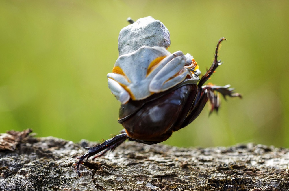 "Mandatory Credit: Photo by Hendy MP/Solent News/REX Shutterstock (4436027f) The frog riding on top of the beetle Frog rides a beetle like a rodeo cowboy on a bull, Sambas, Indonesia - Jan 2015 Like a cowboy riding a bull, this frog appeared to have a wild ride after it hopped aboard a beetle. At one point the daring amphibian appeared to be having the time of its life as it clung on with one hand in the air. And it managed to stay in place for around five minutes before eventually crawling off. Photographer Hendy Mp captured the unique moment near his house in Sambas, Indonesia. The 25-year-old said: ""It was such an amazing moment, the frog just saw the beetle and decided to crawl on top. ""It looked like the frog was a cowboy riding a bull and it even put its right leg in the air. ""The frog was on the beetle for five minutes and the insect was just happily running around."""