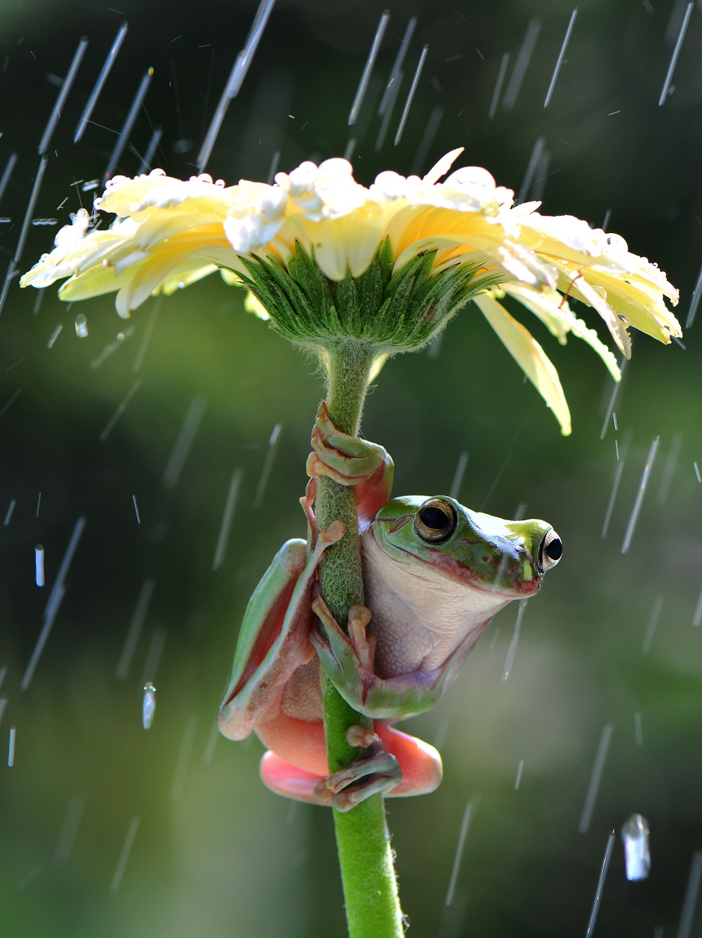 "Mandatory Credit: Photo by Ajar Setiadi/Solent News/REX Shutterstock (4794095a) Frog sheltering from the rain under a flower Frogs shelter under flowers from the rain, Jakarta, Indonesia - May 2015 *Full story: http://www.rexfeatures.com/nanolink/qfrm A pair of quick-thinking frogs try to keep dry while it showers by holding a flower over their head like an umbrella. The amphibians are so determined to keep dry they manage to climb up the gerbera stalks so their bodies are underneath the petals. Photographer Ajar Setiadi captured the moment two dumpy tree frogs climbed the flowers in his back garden in Jakarta, Indonesia. The 47-year-old said: ""I was playing with my frogs at the time and then it started showering quite a bit. ""The frogs managed to jump from one flower to another and hold it above their heads so that they did not get wet""."