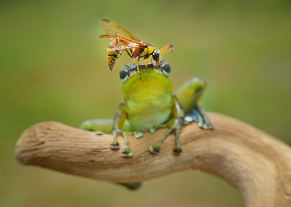 "Mandatory Credit: Photo by Frenki Jung/Solent News/REX Shutterstock (4796629c) The wasp perched on the head of the frog Wasp lands on frog's head, Sambas, Indonesia - May 2015 *Full story: http://www.rexfeatures.com/nanolink/qfue This little frog stands stock still to avoid a sting as a wasp lands on its head. The green frog was minding his own business sitting on a branch when the wasp flew over and perched on him. But instead of telling him to buzz off like any of us would do, the frog stayed calm and let him wander around on top of him. This unusual friendship was captured by photographer Frenki Jung, 17, who was taking pictures of the frog when the wasp flew over. Frenki, a student from Sambas in Indonesia, said he was amazed to see how the frog reacted when the insect landed on him. He said: ""These pictures were taken in a garden just behind my house, I was taking pictures of my pet frog when the wasp flew over. ""It landed right on top of him, it was like he was asking him for a lift""."