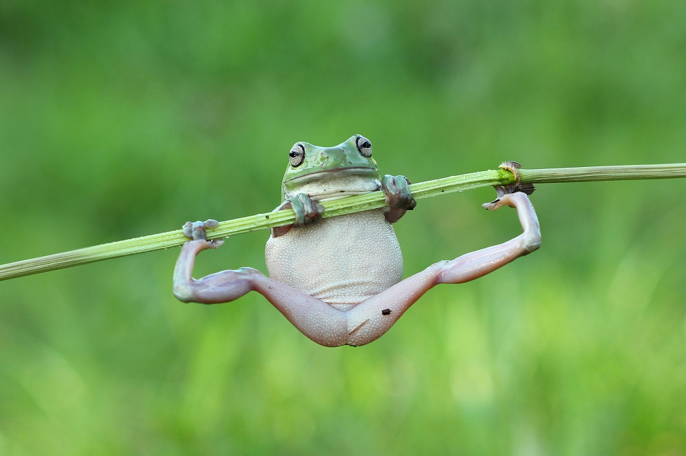 "Mandatory Credit: Photo by Kurit Afsheen/Solent News/REX Shutterstock (4889839a) One of the frogs doing a pull up on the stem Frogs appear to be exercising on a plant stem, Tangerang, Indonesia - Jun 2015 *Full story: http://www.rexfeatures.com/nanolink/ql2d It's no pain no gain for these fitness frogs as they attempt to do a pull up on a bamboo branch. The two White's Tree Frogs were spotted attempting to heave themselves back onto the stem after they slipped off. The male and female frogs were racing each other up the branch like climbers hoisting themselves up a rope, with the larger, older female frog winning the contest. But as the frogs reached the top of the branch it began to bend under their weight until it was horizontal, leaving them both hanging on by their finger tips. Kurit Afsheen photographed the amphibians as they clung onto the branch in Tangerang, Indonesia. Mr Afsheen said: ""I saw them climbing up the branch and it looked like they were trying to race each other."