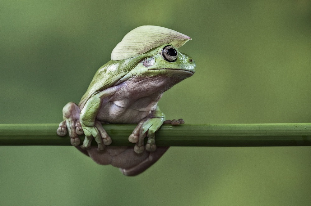 "Mandatory Credit: Photo by Lessy Sebastian/Solent News/REX Shutterstock (3438887d) Frog balanced on a plant stem with a flower petal on its head Green frogs appear to exercise using a branch, Jakarta, Indonesia - Nov 2013 *Full story: http://www.rexfeatures.com/nanolink/ofd5 These green tree frogs are enjoying an intense gym workout by lifting their own bodyweight performing pull-ups on a branch. The acrobatic frogs even use a vertical branch to hang themselves off sideways, displaying immense strength and bulking up their muscles. In another photo, one frog poses proudly with a cap on after a fitness session - using a petal from a lotus flower. Professional photographer Lessy Sebastian, 50, captured these amazing photographs when he spent the afternoon in his garden. He bought the frogs from a reptile shop almost a year ago and keeps them in his pond in Jakata, Indonesia. Lessy said: ""Usually every weekend I have an opportunity to photograph them and watch them play on a tree branch and jump on a lotus flower to a rest""."