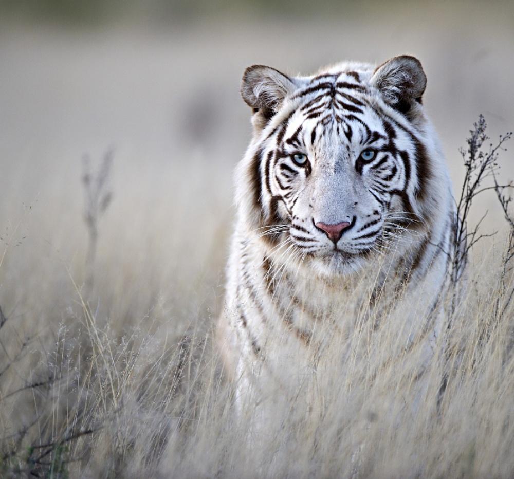 Tigers03