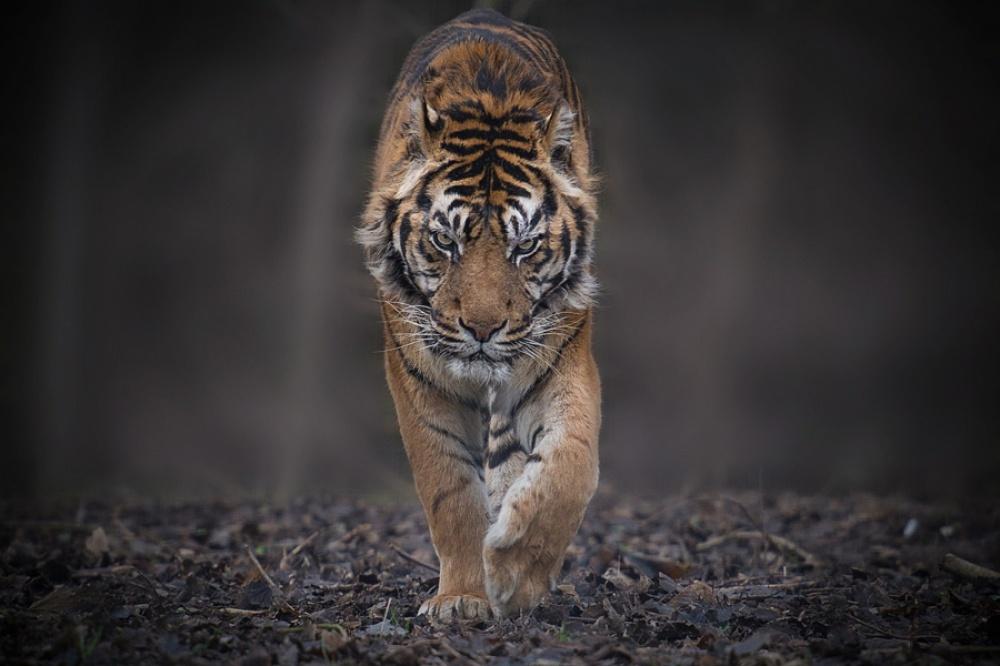 Tigers04