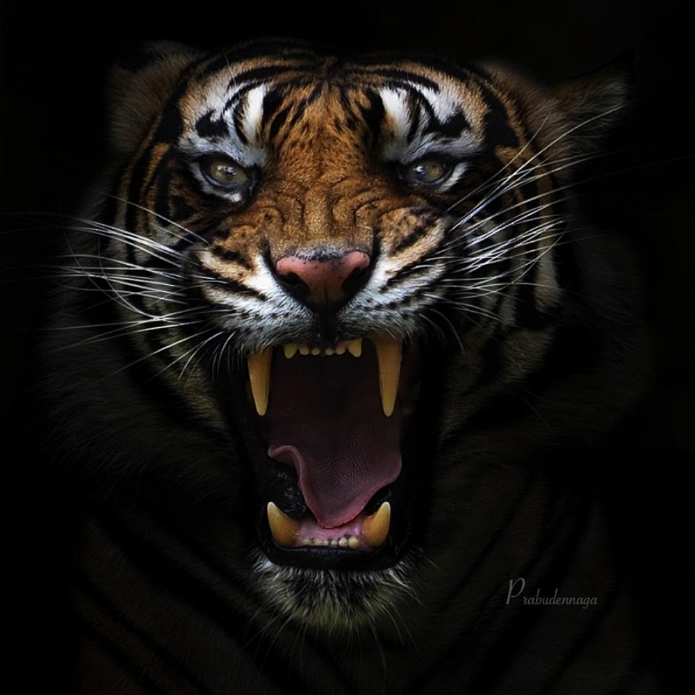 Tigers06