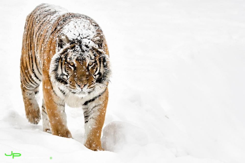Tigers13