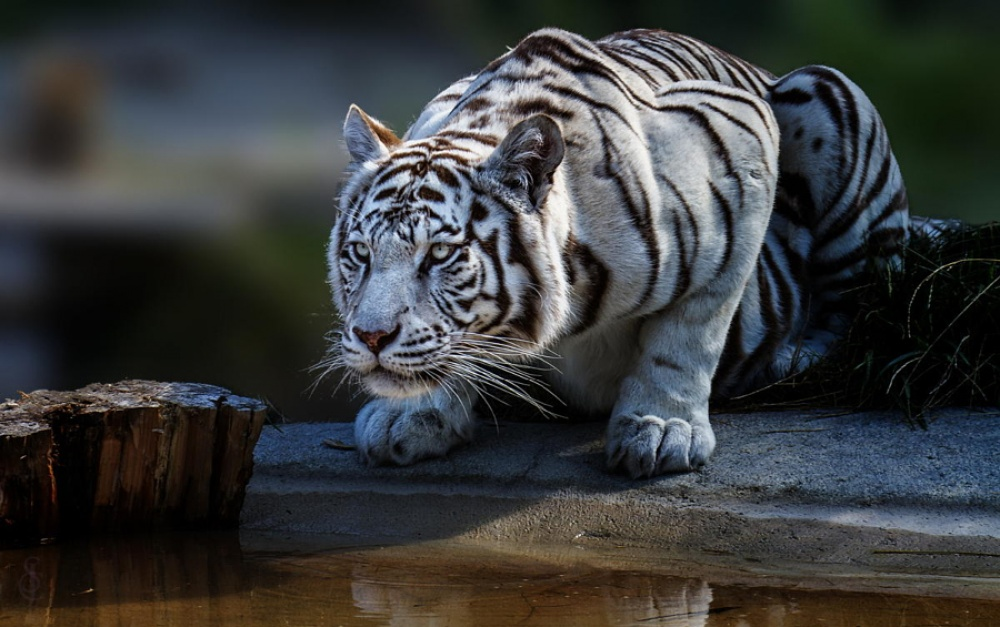 Tigers14