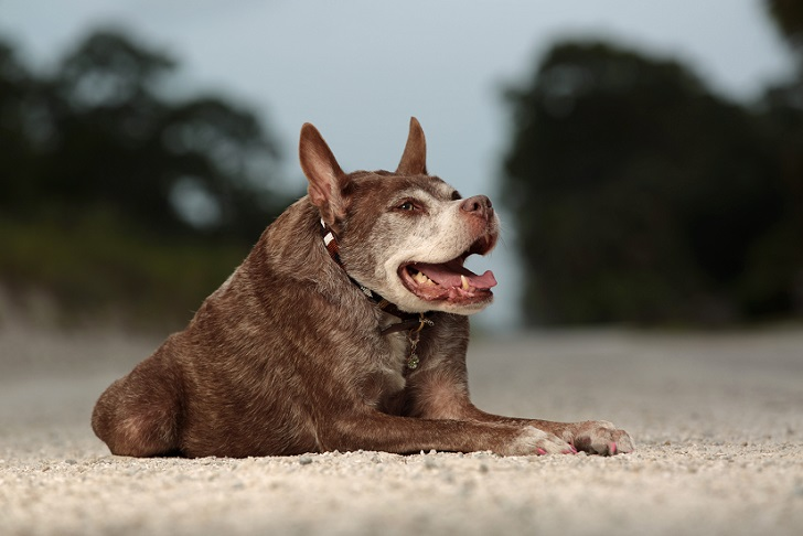 Mandatory Credit: Photo by Dan Callister/REX Shutterstock (4913667b) Quasi Modo Hunchback dog Quasi Modo wins 'world's ugliest dog' competition, Loxahatchee, Florida, America - 06 Jul 2015 *Full story: http://www.rexfeatures.com/nanolink/qoy6 Meet hunchback dog Quasi Modo who has just been crowned the 'ugliest' dog in the world. The 10-year-old pit bull-Dutch shepherd mix was born with spinal problems, which is the reason for her unusual look. She was abandoned at an animal shelter before being adopted by vet Virginia Sayre and her husband Mike Carroll from Loxahatchee, Florida. Quasi Modo has a short, round body with long legs. Her head disappears into her neck and body as she is missing vertebrae and the remainder are fused together. She fought of competition from 25 other dogs to win the title of ugliest dog at the event at the Sonoma-Marin Fairgrounds in Petaluma, California that 'applauds imperfection'.