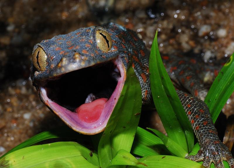 гекон токи