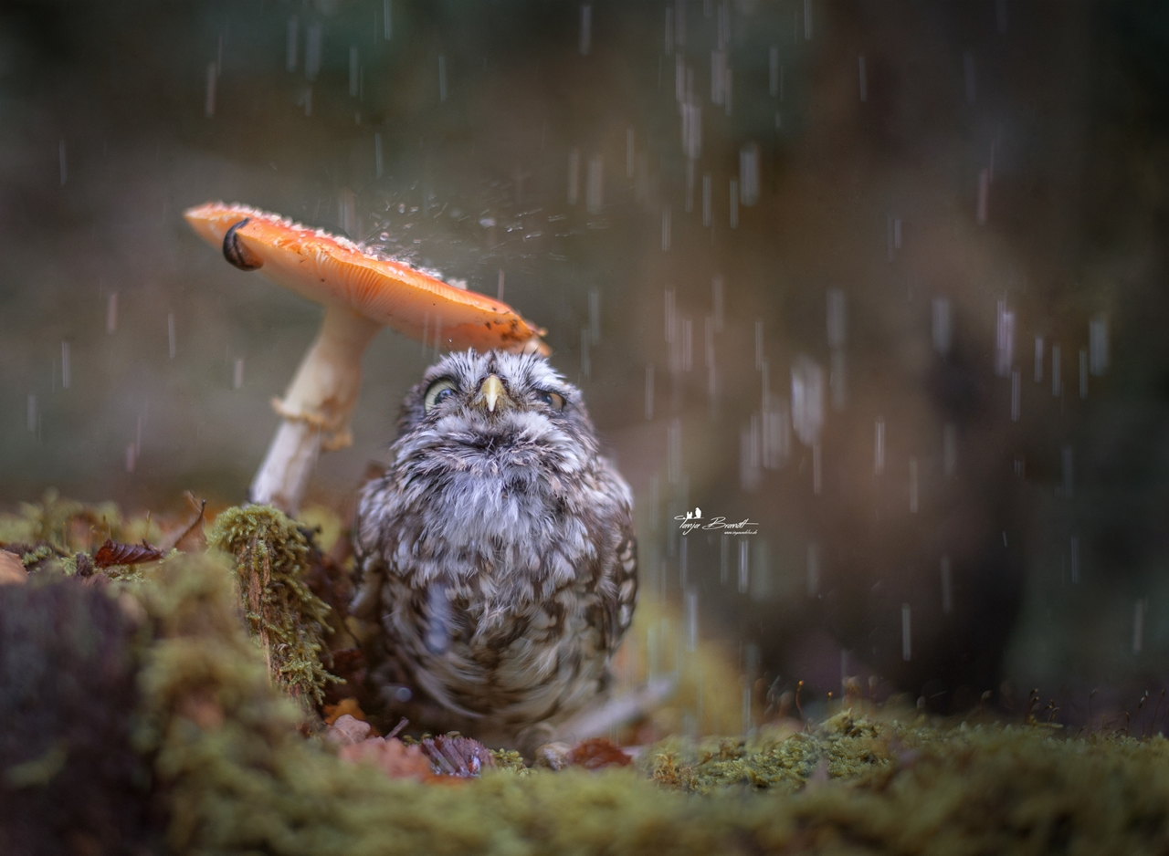 Cute-Tiny-Owl-00