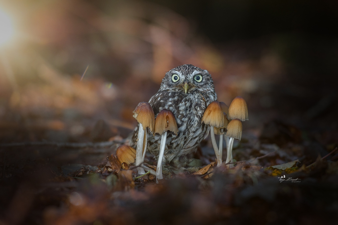 Cute-Tiny-Owl-01