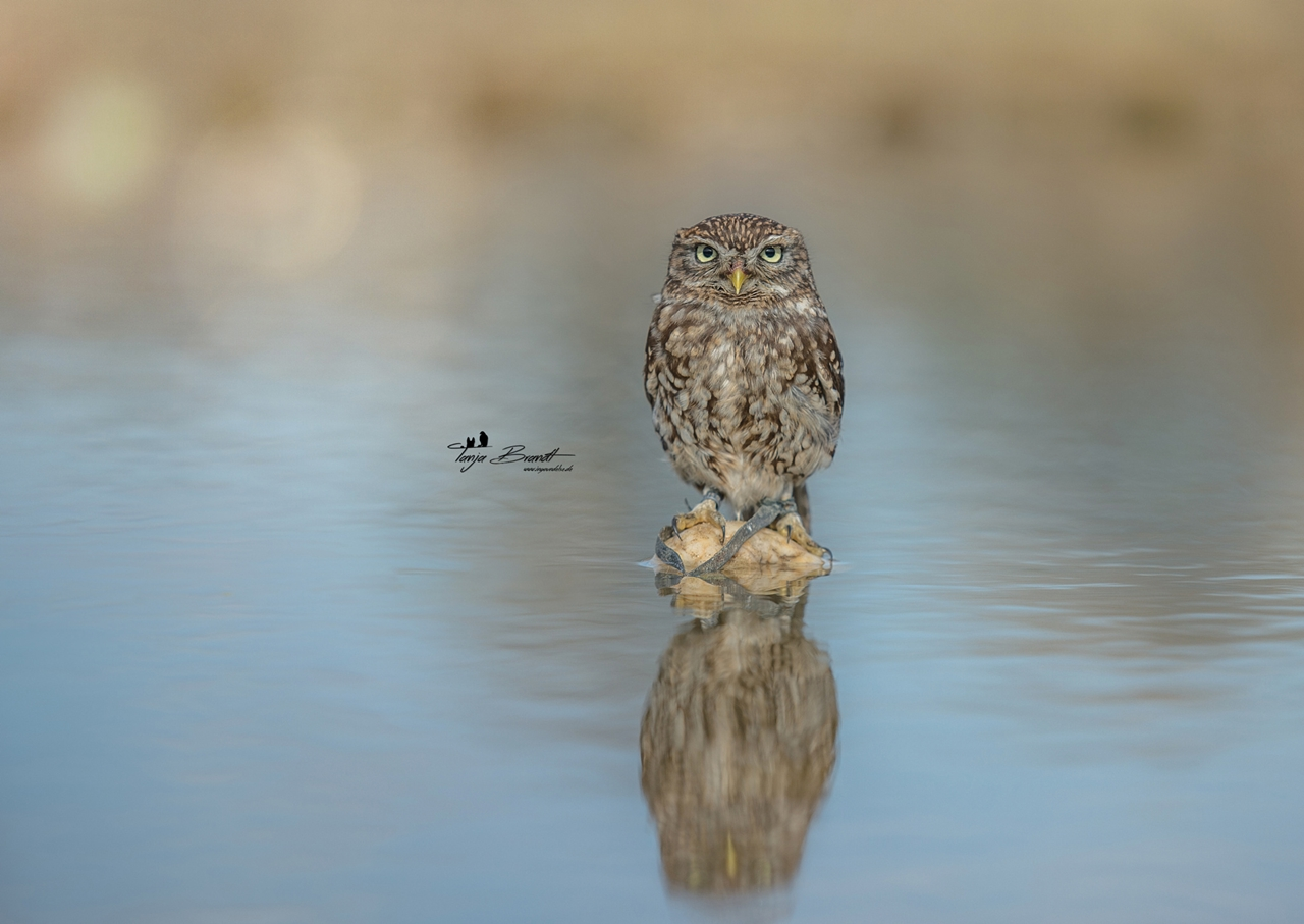 Cute-Tiny-Owl-14