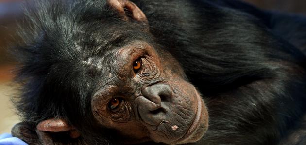 Современные человекообразные обезьяны реферат 5813