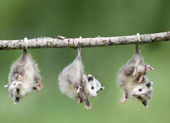 cute-possums-221__700