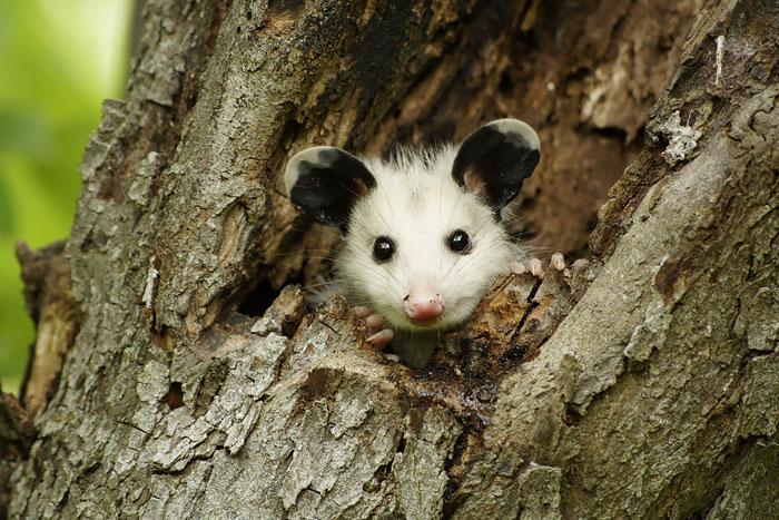 cute-possums-311__700
