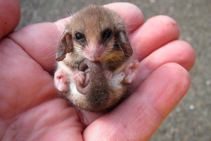 cute-possums__700