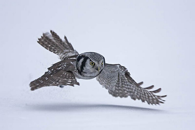 Hawk Owl (Surnia ulula) hunting over a snowy field, March, Finland