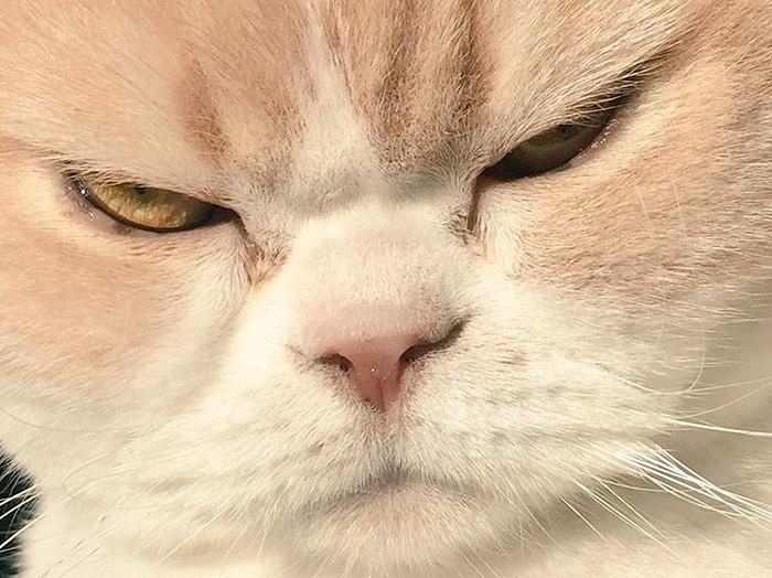 japanese-grumpy-cat-angry-koyuki-moflicious-36