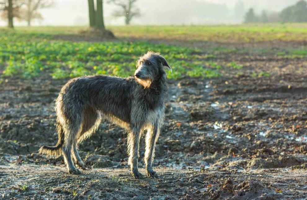 largest-dogs-deerhound