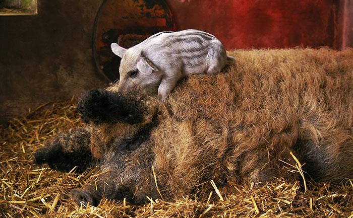 mangalitsa-furry-pigs-hairy-sheep-233__700