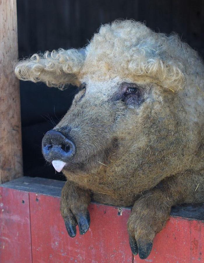 mangalitsa-furry-pigs-hairy-sheep-251__700