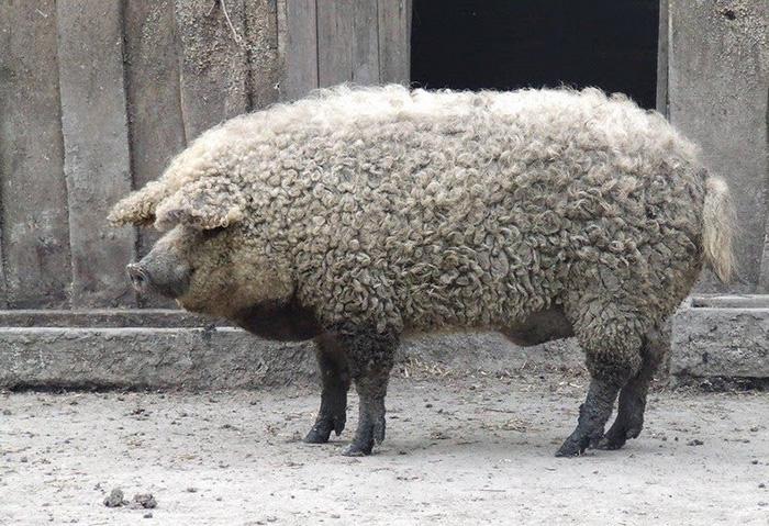 mangalitsa-furry-pigs-hairy-sheep-29__700