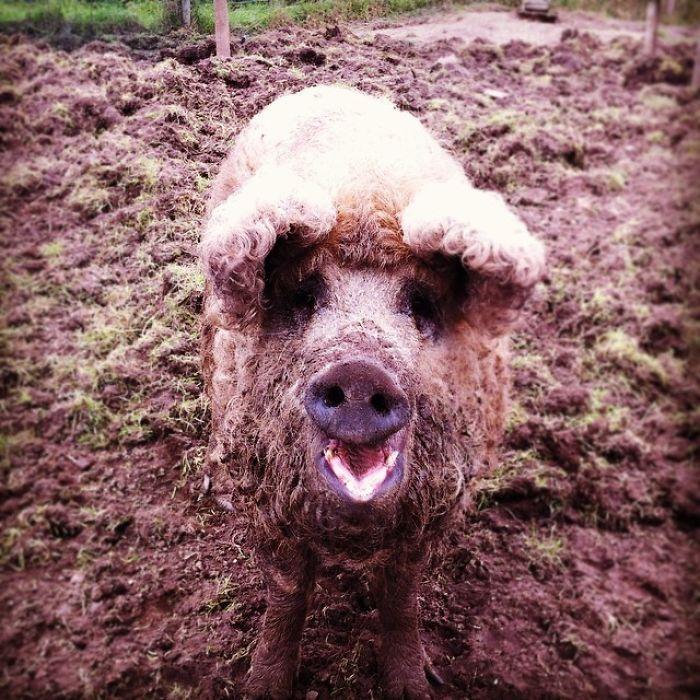 mangalitsa-furry-pigs-hairy-sheep-33__700