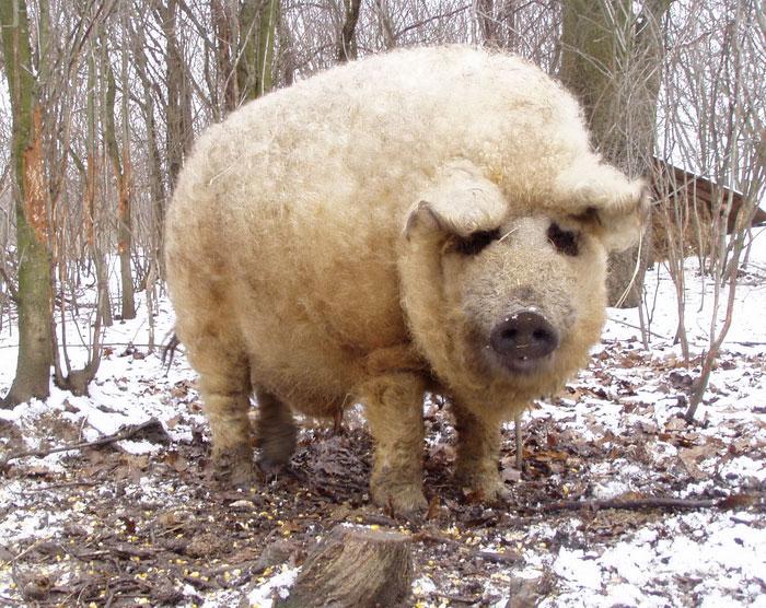 mangalitsa-furry-pigs-hairy-sheep-37__700
