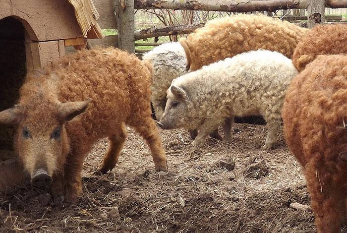 mangalitsa-furry-pigs-hairy-sheep-38__700