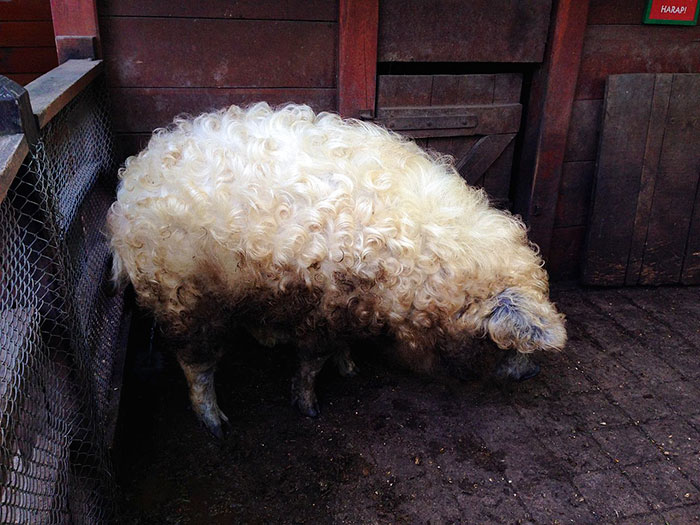 mangalitsa-furry-pigs-hairy-sheep-39__700