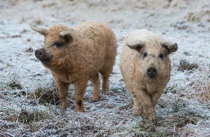 mangalitsa-furry-pigs-hairy-sheep-46__700