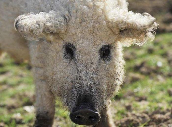 mangalitsa-furry-pigs-hairy-sheep__700