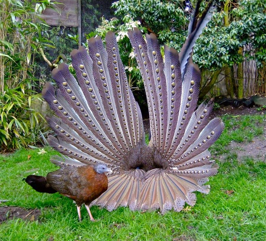 Great Argus Pheasant