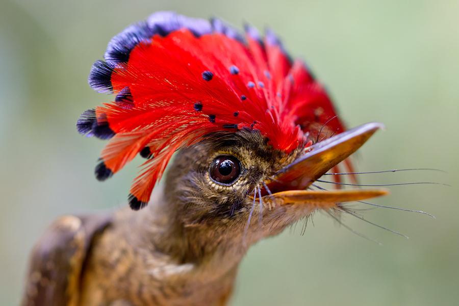 Венценосный мухоед