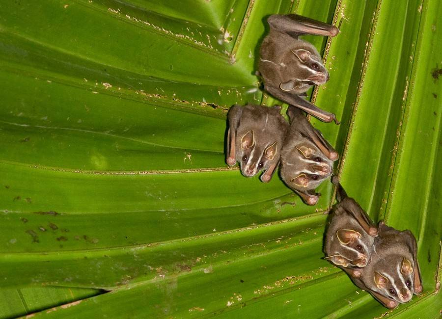 Great_Fruit-eating_Bat_(Artibeus_lituratus)_crop