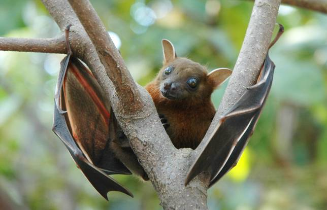 Lesser_short-nosed_fruit_bat_(Cynopterus_brachyotis)
