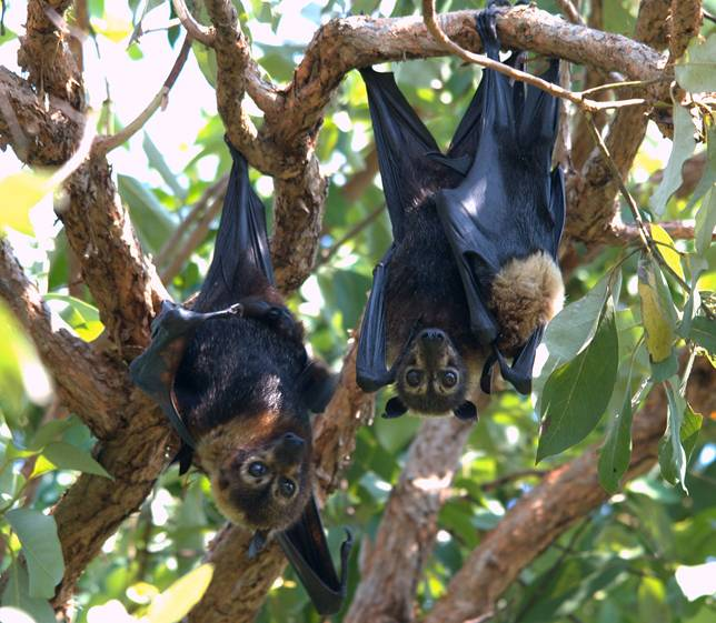 Spectacled_flying_foxes_(Pteropus_conspicillatus)_-_male,_female_&_her_young