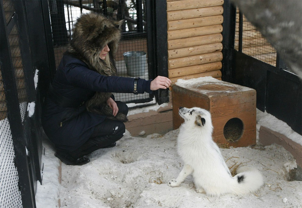 Spring-And-A-Girl-Cute-Friendship-Between-A-Snow-Fox-And-A-Human-10