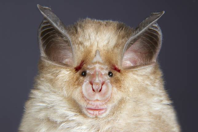 medit-horseshoe-bat_0