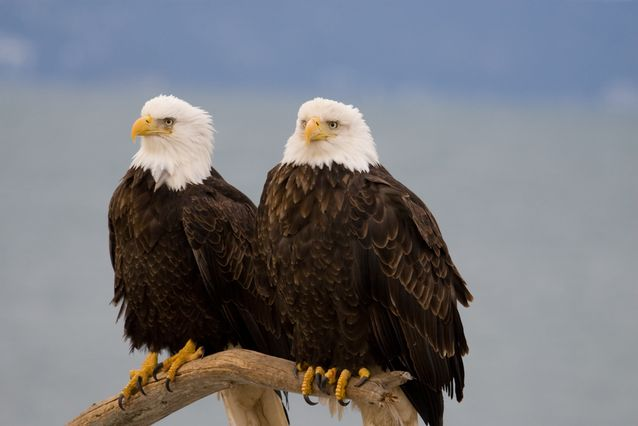 pair-bald-eagles.jpg.638x0_q80_crop-smart