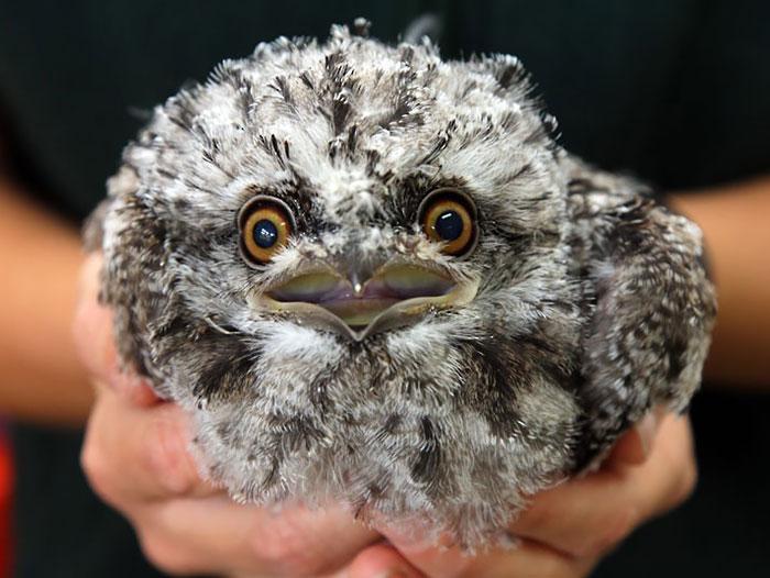 tawny-frogmouth-birds-11__700