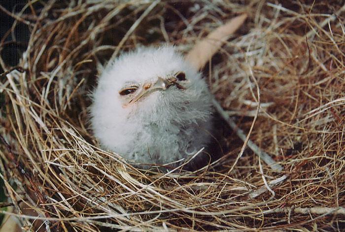 tawny-frogmouth-birds-30__700